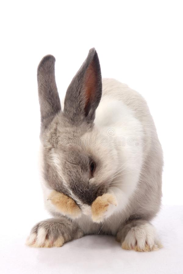 Bunny Rabbit Cleaning. Cute bunny rabbit clening it's face with it' paws royalty free stock photo