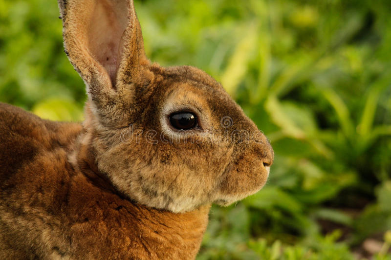 Bunny Rabbit Closeup. A closeup image of a bunny rabbit outside in the grass royalty free stock image