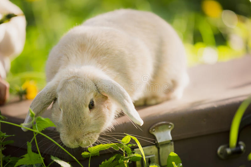 Bunny rabbit on the grass. Close up. Bunny rabbit on the grass. The rabbit is washing his hands. Close up royalty free stock photo