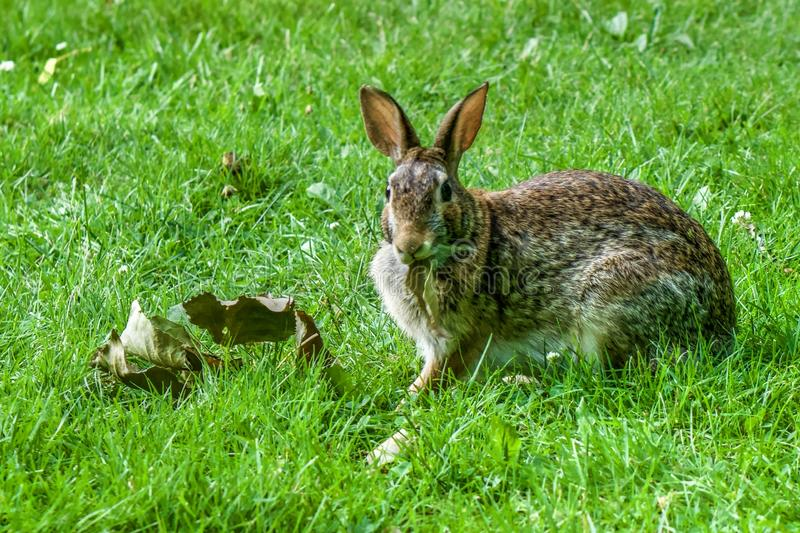Bunny rabbit in green grass, alert, eating grass stock photos