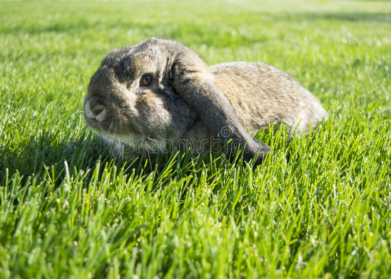 Bunny rabbit lays in the green grass stock image