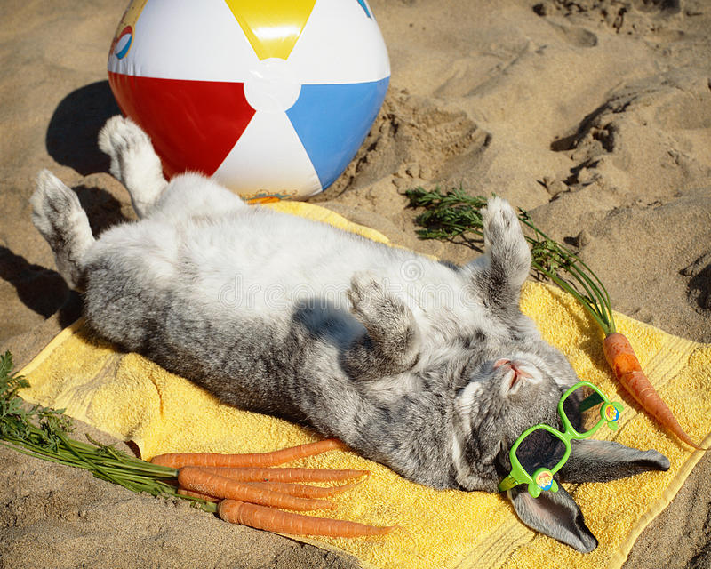 Bunny rabbit relaxing on the sand. Bunny rabbit wearing sunglasses relaxes on the sand while on vacation enjoying carrots and some beach ball stock photo