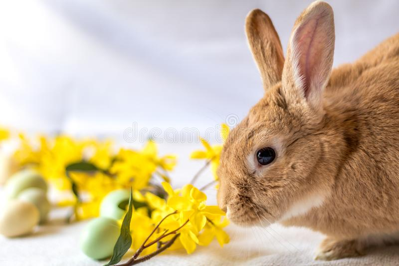 Bunny Rabbit in rufus color nuzzles yellow forsythia flowers. Bunny Rabbit in rufus color nuzzles yellow forsythia flower against light background, room for copy stock image