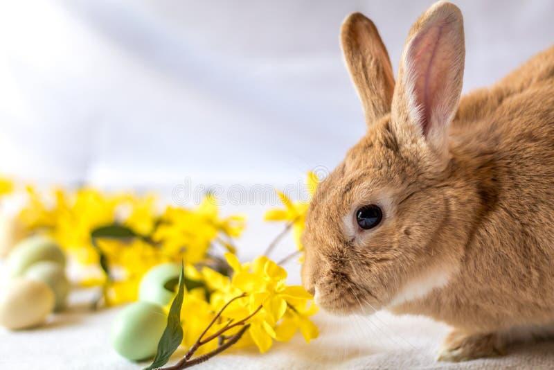 Bunny Rabbit in rufus Farbe nuzzles gelbe Forsythieblumen stockbild