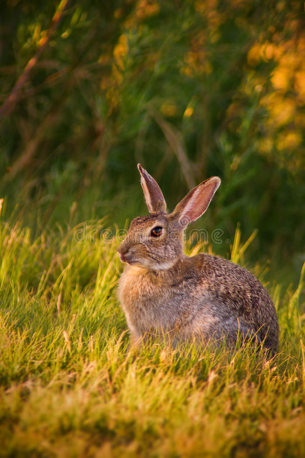 Download Bunny In Sunlight stock image. Image of young, leporidae - 26345607