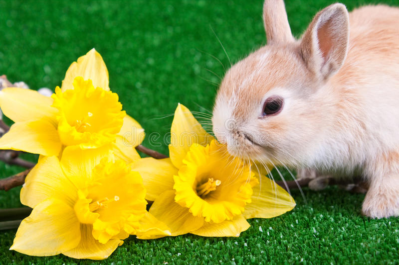 Download Bunny And Yellow Narcissus Stock Photos - Image: 13555563