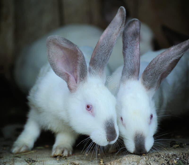 Bunnys jovenes adorables en una jaula de madera grande en la casa de la granja fotografía de archivo libre de regalías