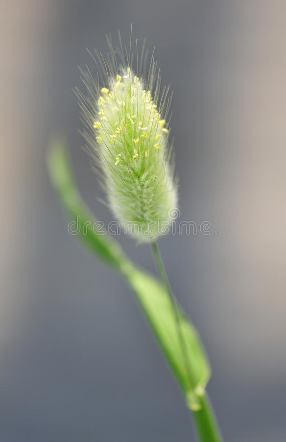 Download Bunnytail Ornamental Grass (Lagurus Ovatus) Royalty Free Stock Image - Image: 21846206