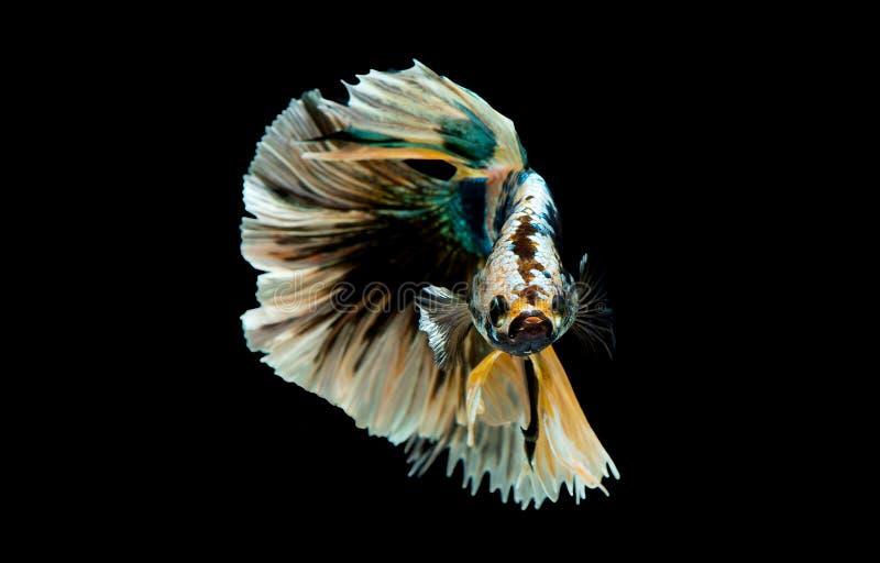Bunt mit Hauptfarbe von gr?nen, schwarzen und gelben betta Fischen, Siamesischer Kampffisch wurde auf schwarzem Hintergrund lokal stockfotografie