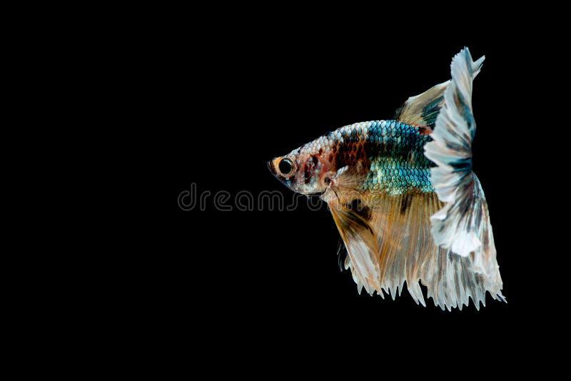 Bunt mit Hauptfarbe von gr?nen, schwarzen und gelben betta Fischen, Siamesischer Kampffisch wurde auf schwarzem Hintergrund lokal lizenzfreie stockbilder