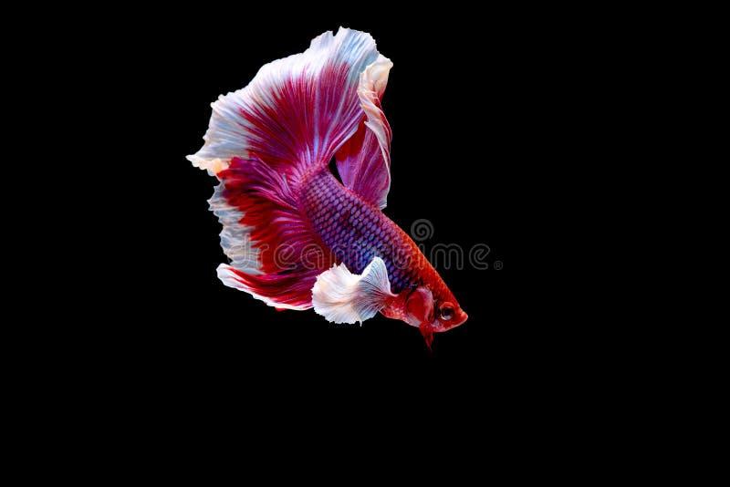 Bunt mit Hauptfarbe von roten und rosa betta Fischen, Siamesischer Kampffisch wurde auf schwarzem Hintergrund lokalisiert Fischen lizenzfreie stockfotos