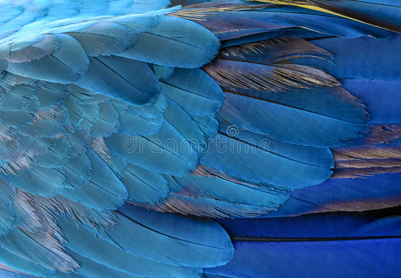 Bunt von blauem und gelbem Keilschwanzsittichvogel ` s versieht mit Federn lizenzfreie stockfotografie