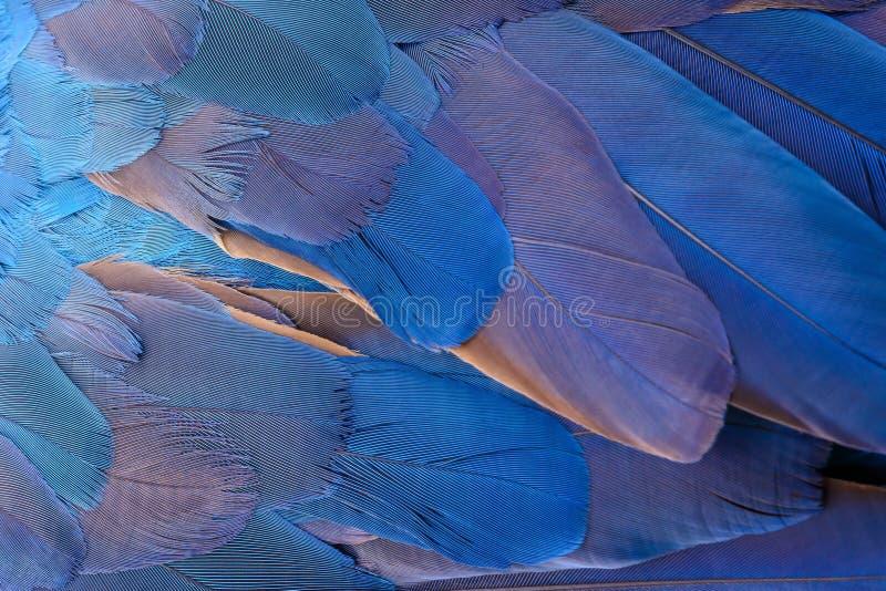 Bunt von blauem und gelbem Keilschwanzsittichvogel ` s versieht mit Federn stockfotografie