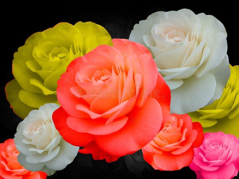 Bunt von den Rosen auf schwarzem Hintergrund, weiß, gelb, rot und sind Farbe von Rosen rosa stockbilder