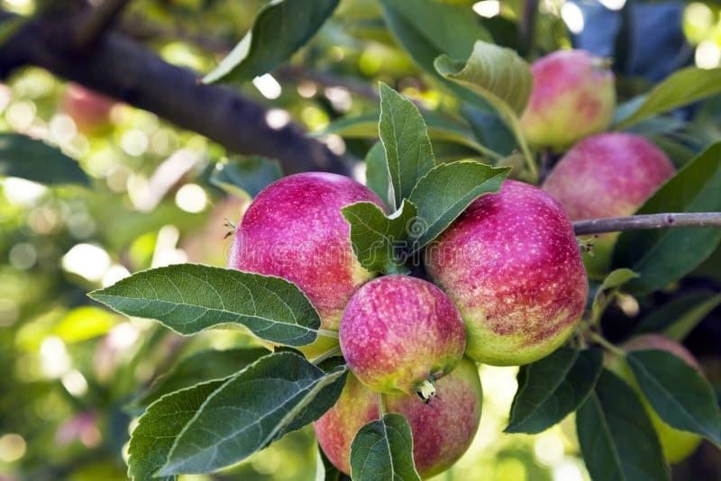 Bunte Äpfel auf einem Baumast in einem englischen Garten stockfoto