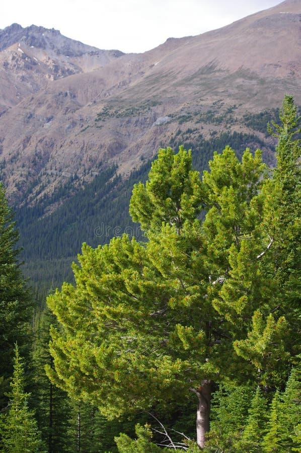 Bunte Ansicht von Kiefern- und Espenwäldern, Alberta, Kanada lizenzfreie stockbilder