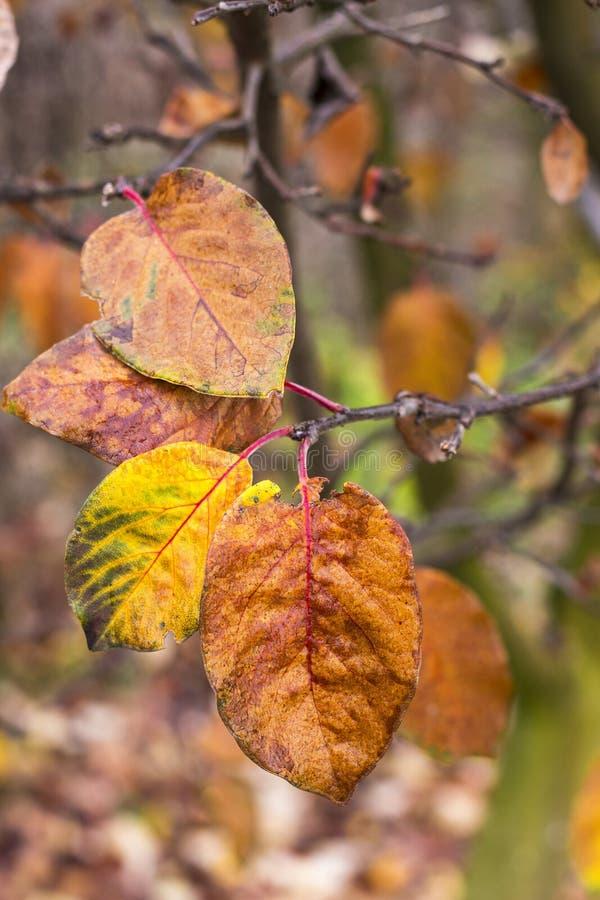 Bunte Apfelbaumblätter im Herbst stockbild