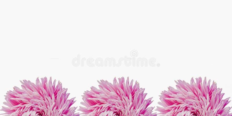 Bunte Aster blüht, einen Rahmen auf einem Hintergrund, minimales Konzept, Draufsicht, Kopienraum bildend für Ihr Textmuster stockfotos