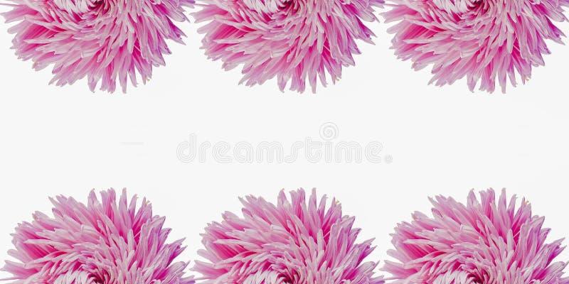 Bunte Aster blüht, einen Rahmen auf einem Hintergrund, minimales Konzept, Draufsicht, Kopienraum bildend für Ihr Textmuster stockfoto