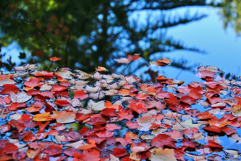 Bunte Blätter am Herbst, botanischer Garten VanDusen, Vancouver im Stadtzentrum gelegen, Britisch-Columbia stockfotografie