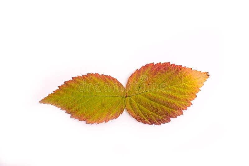 Bunte Blätter im Herbst steigung isolat lizenzfreies stockfoto