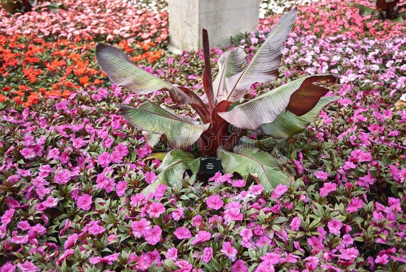 Bunte Blüte von Anlagen Impatiens Neu-Guinea lizenzfreie stockfotografie