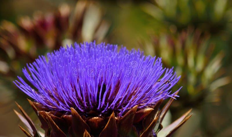 Bunte Blume der wilden Artischocke lizenzfreies stockfoto