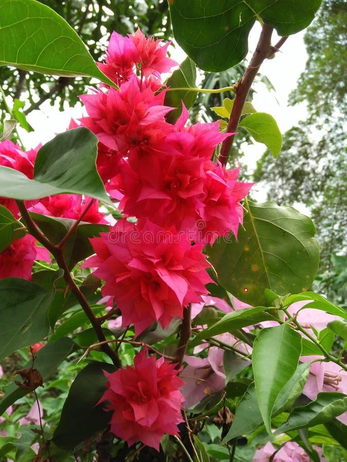 Bunte Blume des magentaroten Bouganvillas nehmen Zeit, die Blumen zu riechen stockfotos