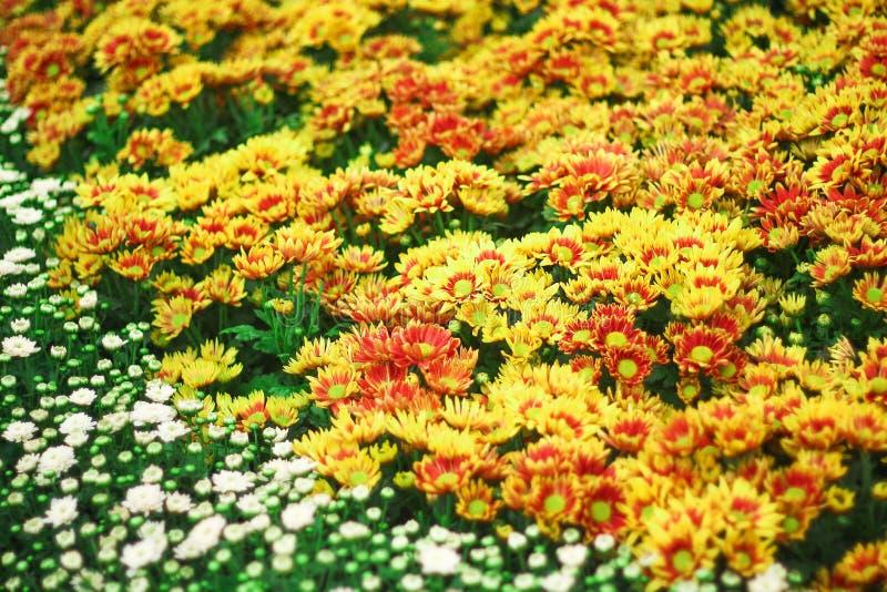 Bunte Blume, die im Garten, Hintergrund der Naturmuster im Freien bl?ht lizenzfreie stockbilder