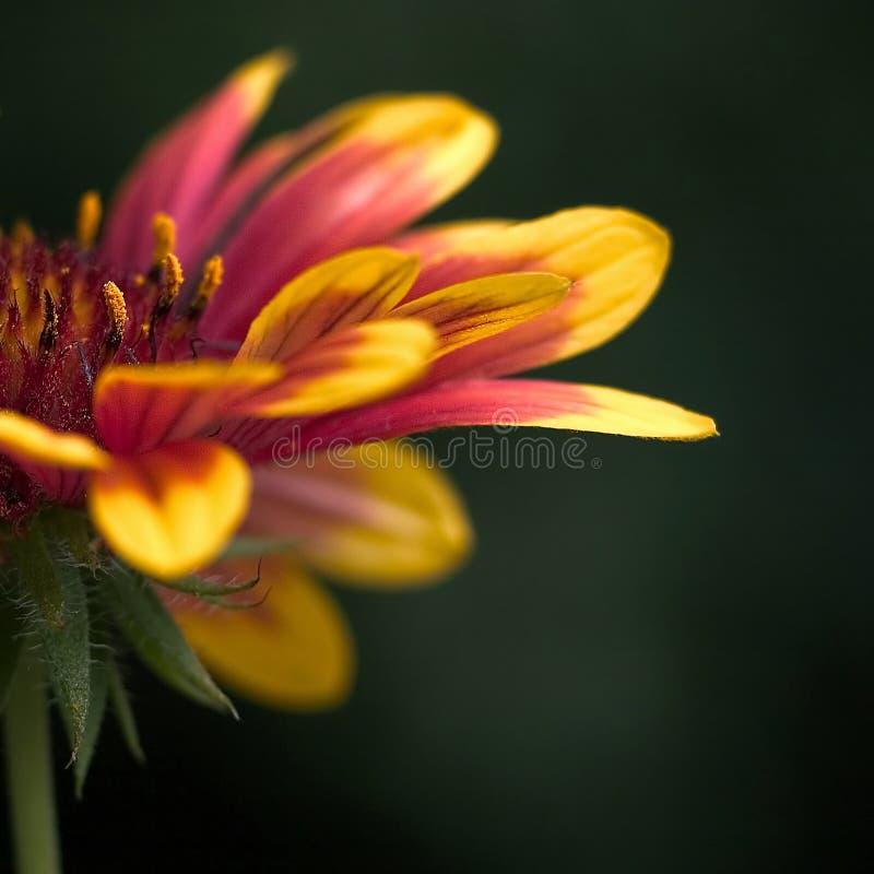 Bunte Blume - Makroschuß stockfoto