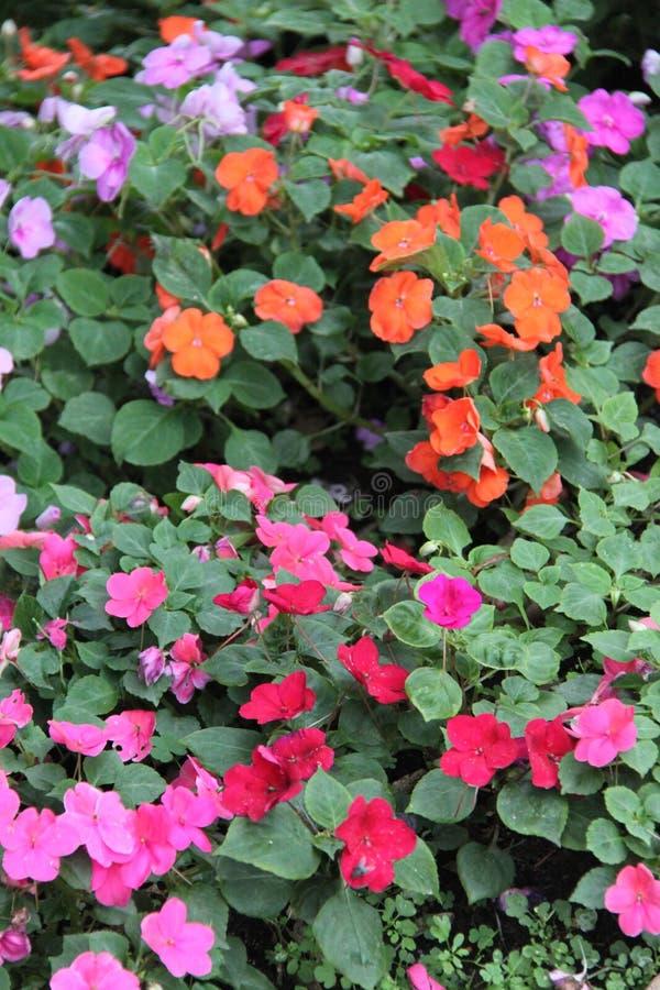 Bunte Blumen Impatiens Balsamina stockfotos