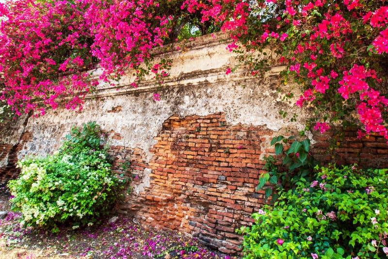 Bunte Bouganvillablumen sind in der Blüte auf alter Backsteinmauer der Festung lizenzfreies stockbild