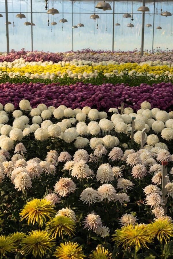 Bunte Chrysanthemenblumen im Glashaus lizenzfreie stockfotografie