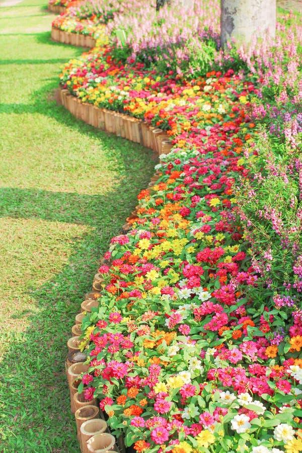 Bunte dekorative Blumen, die in den Kurvenmustern am Garten, mehrfarbiges Zinnia violacea enormer Gruppen-Naturhintergrund blühen stockfoto