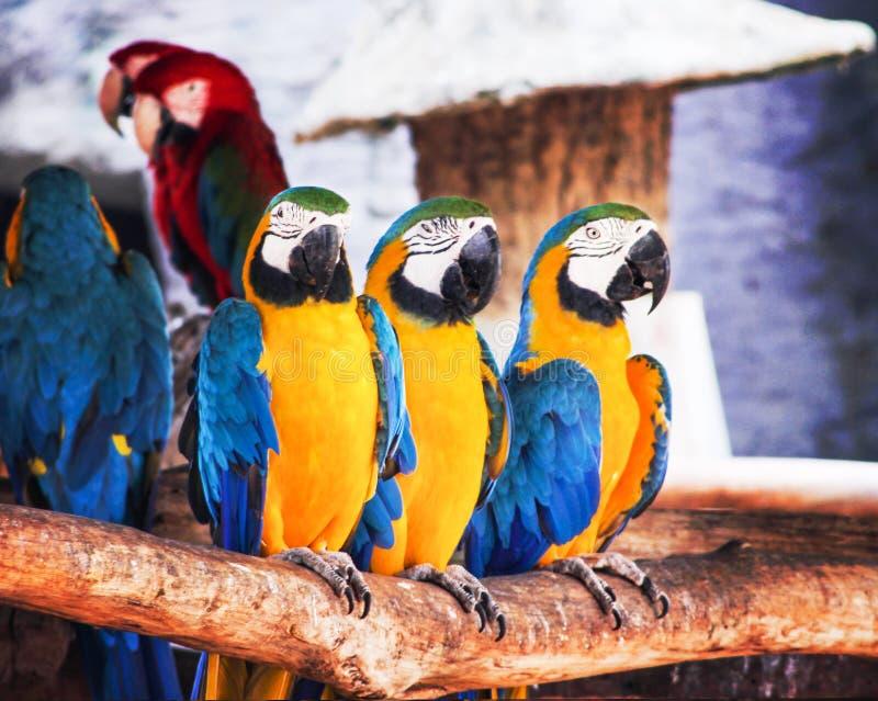 Bunte drei blau und gelbe Keilschwanzsittichstellung auf tht Bauholz, Aronstäbe chloropterus Gruppen-Naturhintergrund lizenzfreies stockfoto