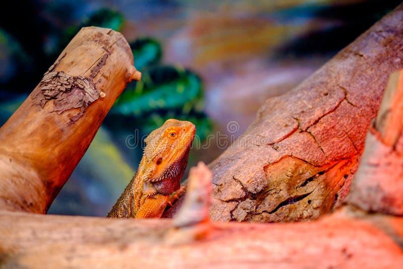 Bunte Eidechse unter Holz lizenzfreie stockbilder