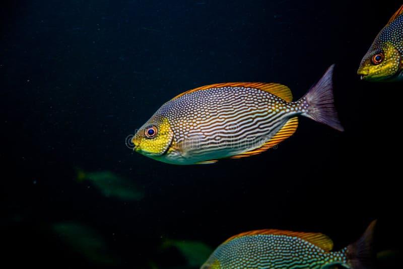 bunte Fische, die Unterwasserozeanwasser schwimmen lizenzfreie stockfotos