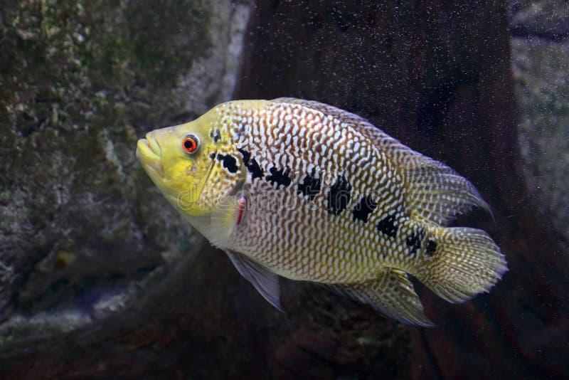 Bunte Fische hybride Blumen-Hornnahaufnahme im Aquarium lizenzfreie stockfotografie