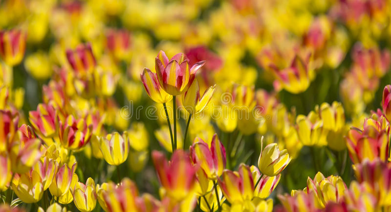 Bunte Frühlingstulpenblumen draußen Garten stockfotos