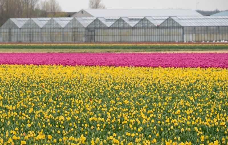 Bunte gelbe und rosa Tulpen, die in den Reihen nahe Keukenhof-Gärten, Lisse, Südholland wachsen stockfoto