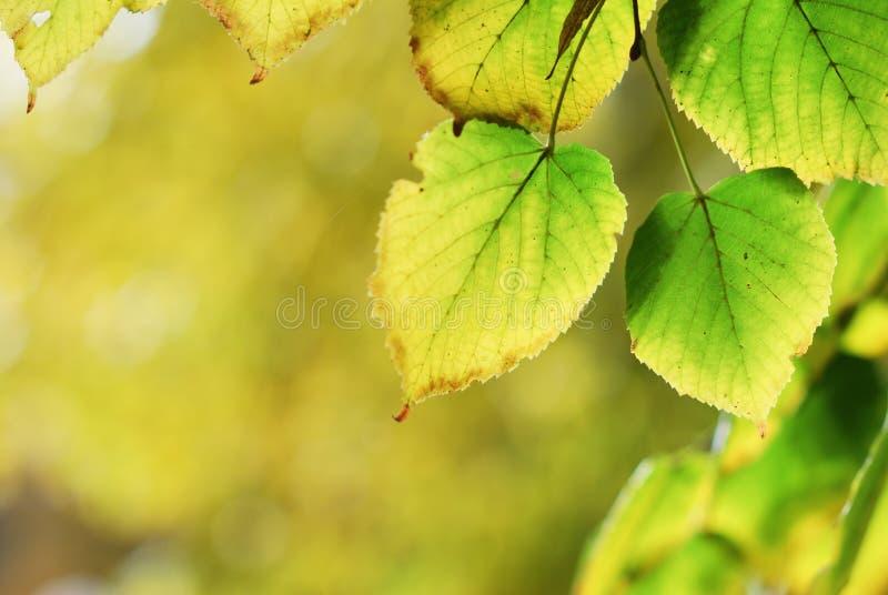 Bunte grüne und gelbe Blätter in der Herbstsaison stockfotos