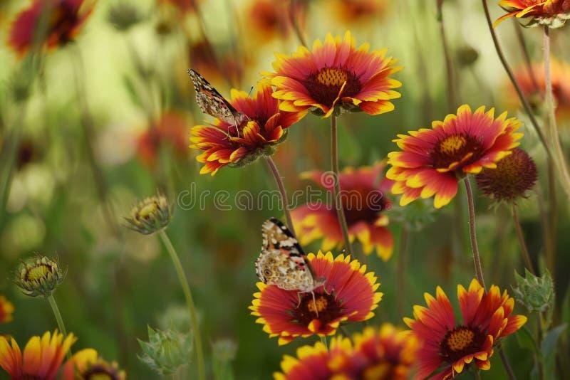 Bunte helle Schmetterlinge auf hellen bunten Gänseblümchen auf einer Sommerwiese Stimmungen des Sommers lizenzfreie stockfotografie