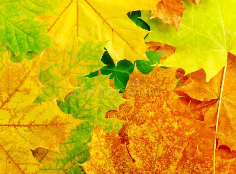 Bunte Herbst-Ahornblätter stockbilder