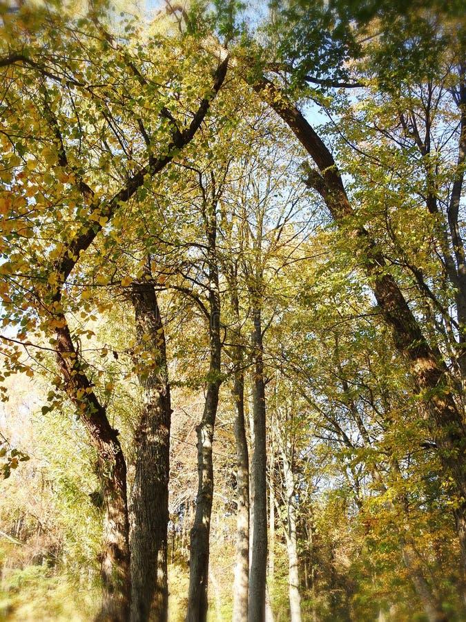 Bunte Herbstbäume, Litauen stockbild