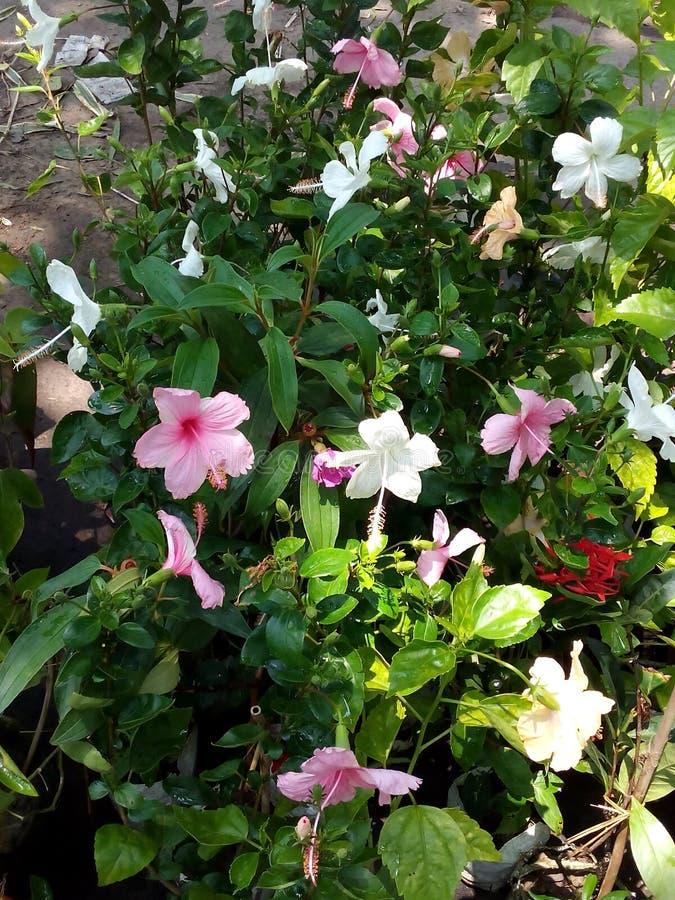 Bunte hibiscus†‹Blüten lizenzfreies stockfoto