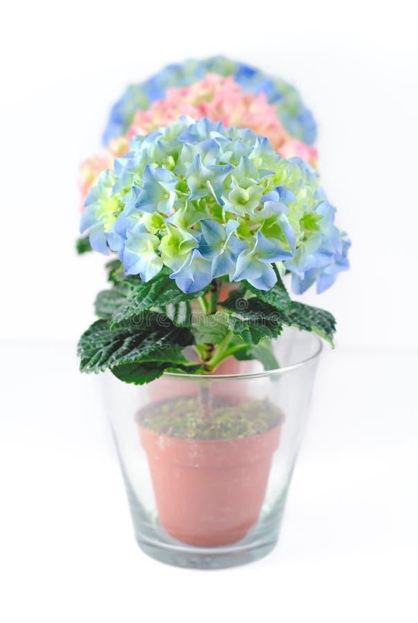 Bunte hydrangeums in den Glaspotentiometern lizenzfreies stockfoto
