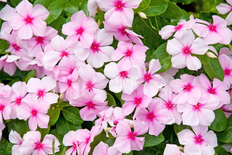 Bunte Impatiens Blumen stockfoto
