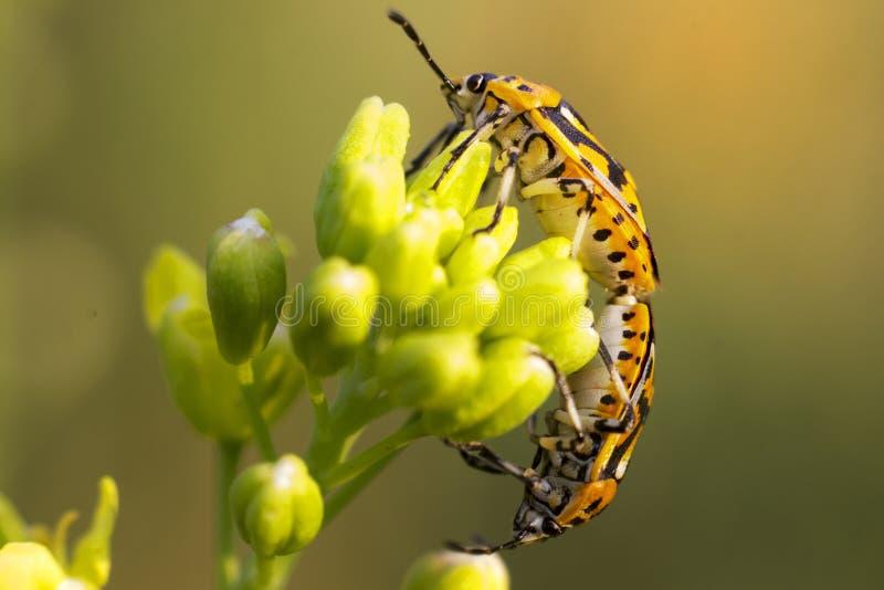 Bunte Insekten zeigen Liebe für Wiedergabe lizenzfreie stockfotografie