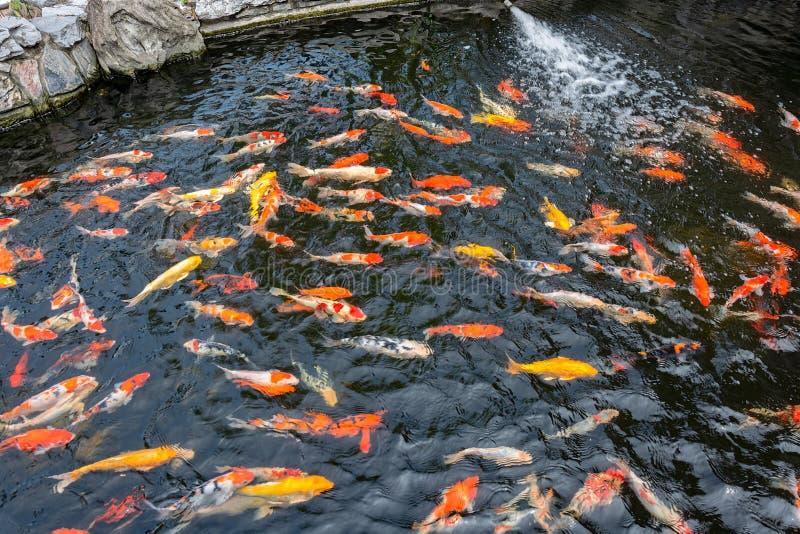 Bunte japanische Karpfenfische in einem Teich stockfotos