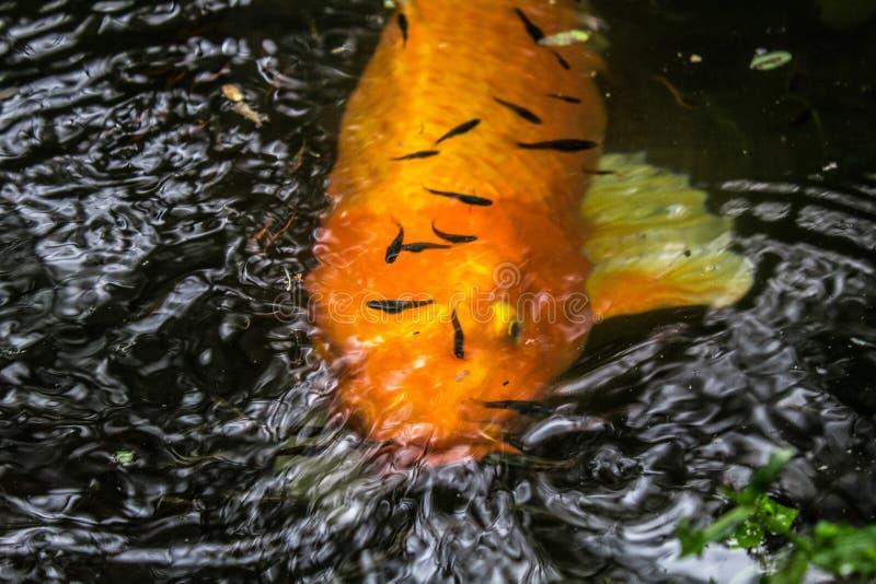 Bunte japanische Koi Carp-Fische in einem reizenden Teich eines Gartens in Tijuca Forest National Park lizenzfreies stockfoto